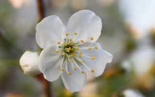 Анализ 4 действия вишневый сад. Вишневый сад