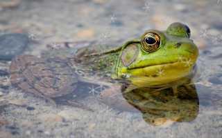 Лягушка, сидящая боком. Начальные контуры лягушки